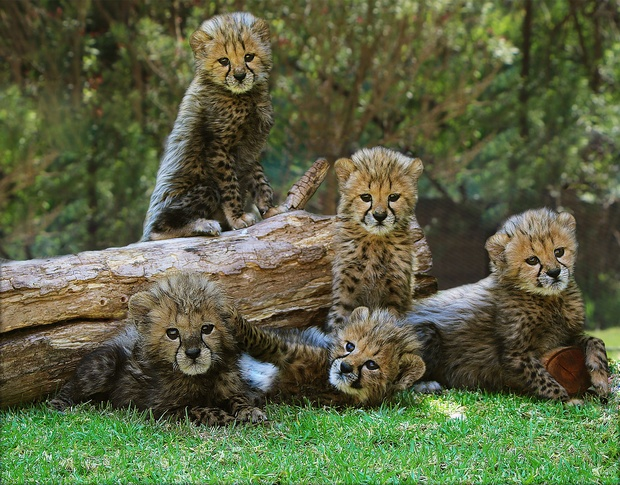 cheetah, cheetah cubs, conservation, vulnerable animals, cats, wild cats, African animals, cubs