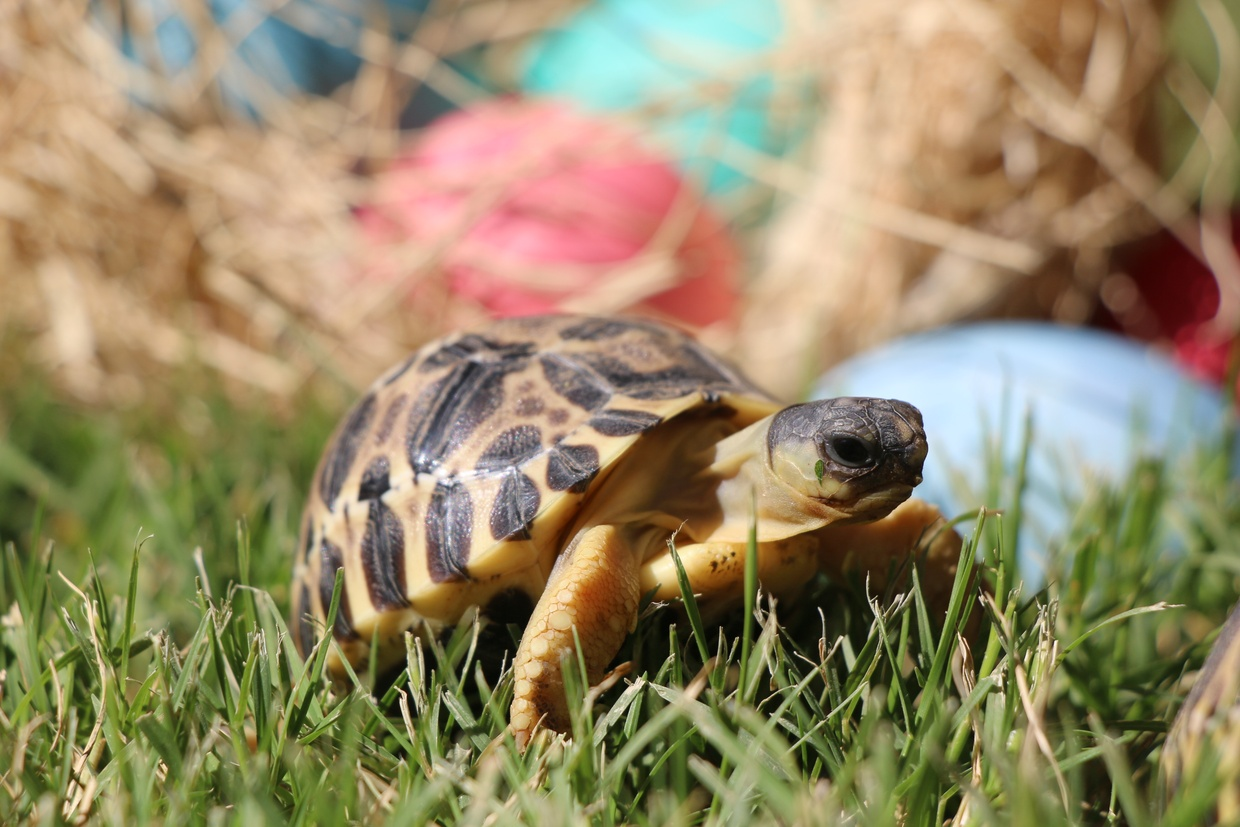 Four Perfect And Critically Endangered Radiated Tortoises Born At